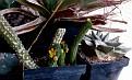 Echidnopsis cereiformis