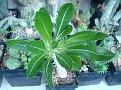 Pachypodium rosulatum subsp  gracilius