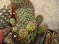 Rebutia steinbachii ssp. steinbachii ( Sulcorebutia totorensis )