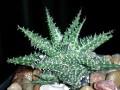 Aloe descoingsii X Aloe haworthioides