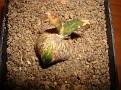 Ariocarpus trigonus minimus