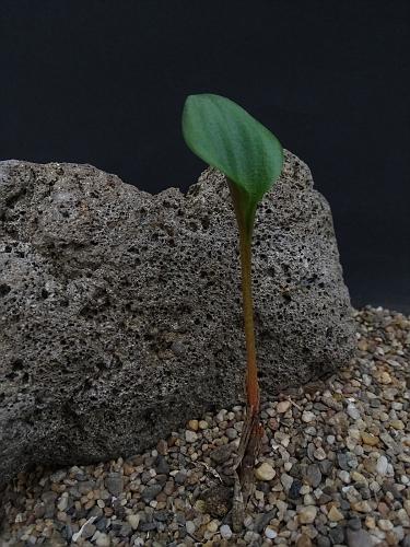 Eriosparmum sp. Botterkloof