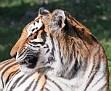 tigersmile2.jpg