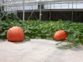 Those are big pumkins!