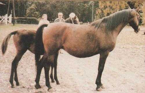 ALKABA (Celebes x Algoa, by Czort) 1975 bay mare bred by Janow Podlaski