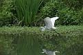 Great Egret #3