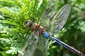 Green Darner Dragonfly 12