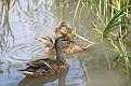 Mallard Hen with Young #2