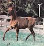 OKW RAGING FIRE #310329 (*Aladdinn x Lite My Fire, by *Bask++) 1984 bay gelding bred by Lasma Arabians