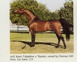 AAF KASET #211866 (*Aladdinn x *Kaseta, by Negatiw) 1980 bay stallion bred by Roy & Judi Kurth  1984 US National Champion Stallion Exported to Brazil 1994