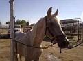 ANDREES #411349 (Algierczyk x Ariahna, by Dar) grey stallion