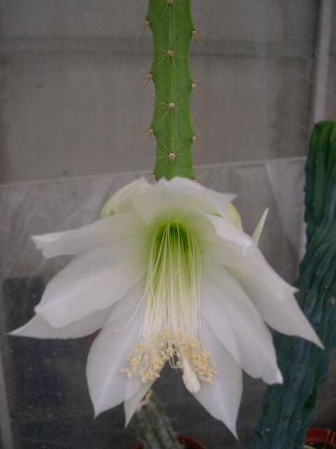 Aporocactus X Phyllocactus cv. `Hasel`