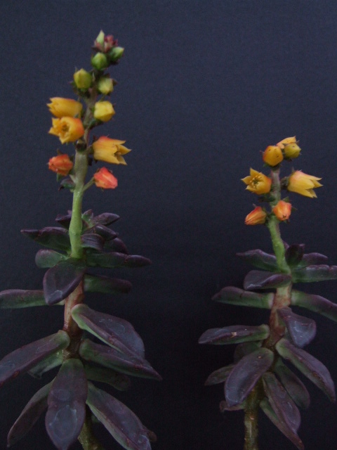 Echeveria compressicaulis . Venezuela