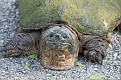 Snapping Turtle #18