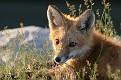 June Red Fox Series #26