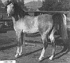 JUBILO #2466 (Caravan x La Plata, by Akil) 1942-1978 grey stallion bred by James E. Draper; sired 52 registered purebreds