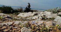 Moraea mediterranea (Gynandriris monophylla) (21)