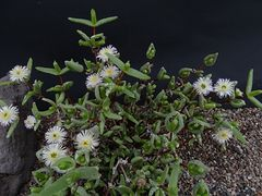 Mitrophyllum abbreviatum