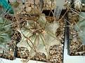 Astrophytum capricorne ' OIBOO '