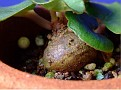 Dorstenia barnimiana var  tropaelifolia (2)