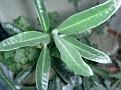 Pachypodium suculentum